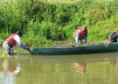 Arrachage de la jussie : plante envahissante sur l'Aubance, le Layon et le Petit Louet